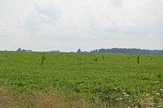 Volunteer (botany) - Maize growing in a soybean field in the central United States
