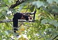 Malabar giant squirrel from Parambikulam T R.jpg