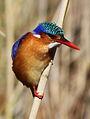 Malachite Kingfisher, Alcedo cristata at Marievale Nature Reserve, Gauteng, South Africa (21174174840).jpg