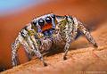 Male Habronattus virgulatus Jumping Spider - Arizona.jpg