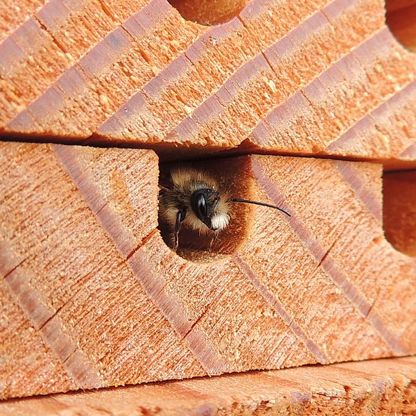 File:Male red mason bee (Osmia bicornis), Sandy, Bedfordshire (8694209006).jpg