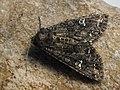 Mamestra brassicae - Cabbage moth - Совка капустная (42985220065).jpg