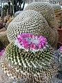 Mammillaria (winterae?) (4507942261).jpg
