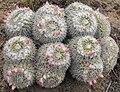 Mammillariaparkinsonii.jpg