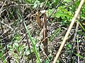 Mantidae Louva-a-deus 1.jpg