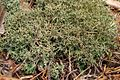 Many-Forked Cladonia (1015968995).jpg
