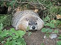 Marmot at Saint Helen's Island in Montreal 03.jpg