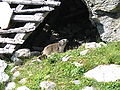 Marmota-3.jpg
