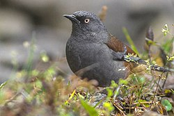 Maroon-backed Accentor Neora valley National Park West Bengal India 08.12.2015.jpg
