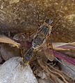Mating Bee Flies. Cytherea cf obscura - Flickr - gailhampshire.jpg