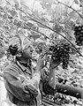 Medewerker van kwekerij J van den Berg in Poeldijk knipt druiven, Bestanddeelnr 252-0913.jpg