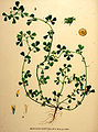 Medicago polymorpha—Flora Batava. Afbeelding en beschrijving der Nederlandsche Gewassen. (1901).jpg