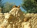 Meerkats 03.jpg
