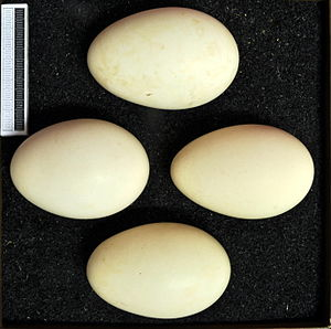 Velvet scoter - Eggs, Collection Museum Wiesbaden