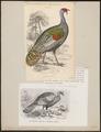 Meleagris ocellata - 1700-1880 - Print - Iconographia Zoologica - Special Collections University of Amsterdam - UBA01 IZ16900316.tif