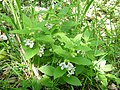 Melittis melissophyllum. Melisa.jpg