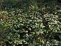 Menyanthes trifoliata20100818 087.jpg