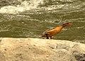 Merganetta armata (Pato de torrentes) - Hembra (14067132780).jpg
