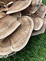 Meripilus giganteus 94855378.jpg