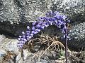 Merwilla lazulina - Chimanimani 1 (21942790353).jpg