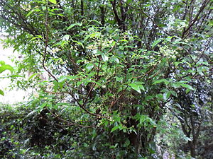 Allophylus edulis