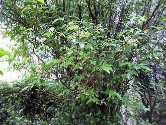 Allophylus edulis - Image: Mi jardín 2 9 10 058