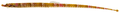 Micrognathus crinitus - pone.0010676.g031.png