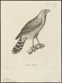 Micronisus gabar - 1700-1880 - Print - Iconographia Zoologica - Special Collections University of Amsterdam - UBA01 IZ18300151.tif