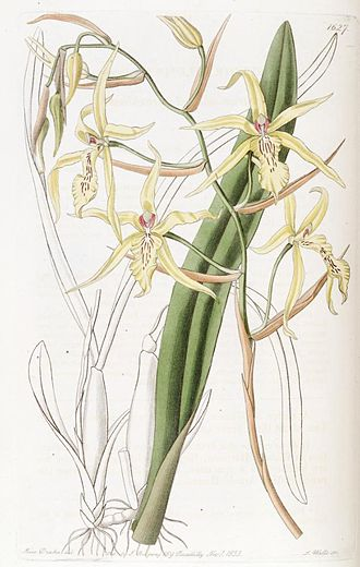 Miltonia - Miltonia flavescens, illustration. This was the first Miltonia species to be described, originally classified under the genus Cyrtochilum, in 1834.