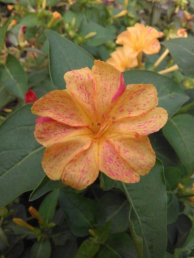 Bunga Pukul Empat Wikiwand