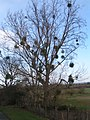 Mistletoe in trees on the Lugg Flats, Tupsley, Hereford - geograph.org.uk - 948296.jpg