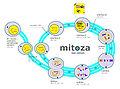 Mitoza schemat.jpg