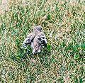Mockingbird Chick018.jpg
