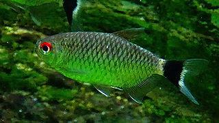 Moenkhausia sanctaefilomenae wikip dia for Poisson aquarium yeux rouge