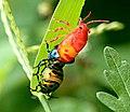 Molting Jewel Bug 03.jpg