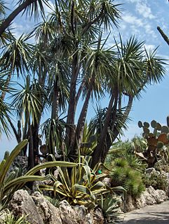 <i>Yucca</i> × <i>schottii</i> Species of flowering plant
