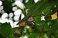 Monarch butterflies roosting (44150253392).jpg