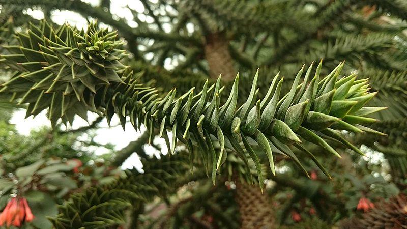 File:Monkey Puzzle Tree (Araucaria araucana).jpg