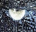 Monochamus sartor scutellum2.jpg