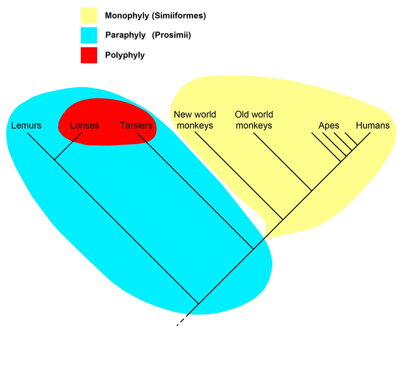 A primate cladogram showing the differences, or groups, of different kinds of taxon. Monophyletic taxon are in yellow. Paraphyletic taxon are outlined in blue. Polyphyletic taxon are outlined in red.