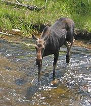 A moose crossing a river.