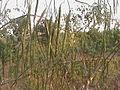 Moringa pods on trees.JPG