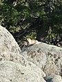 Mormota (Marmot) - panoramio.jpg