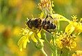 Mosca de las flores 02 - Eristalodes taeniops - Hover fly (269257651).jpg