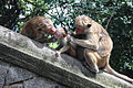 Motherlove monkeys Sri Lanka.jpg