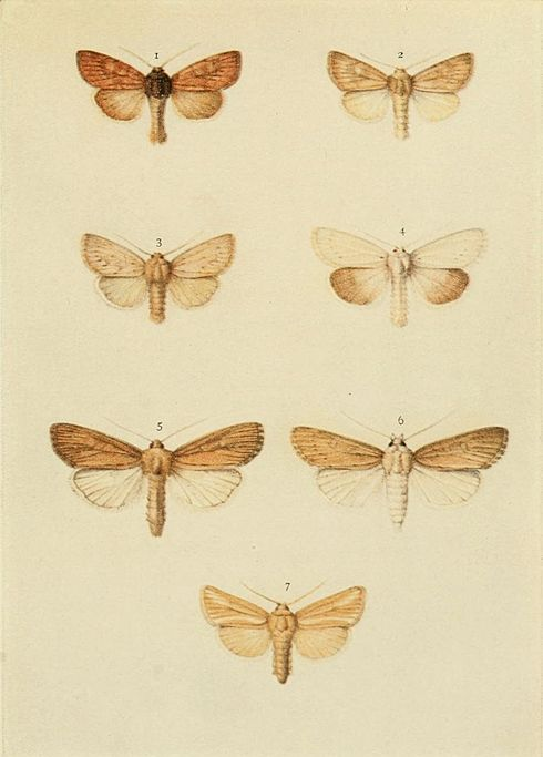 Moths of the British Isles Plate146.jpg