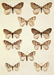Moths of the British Isles Series2 Plate078.jpg