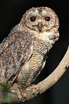 Mottled Wood Owl by Shah Jahan.jpg