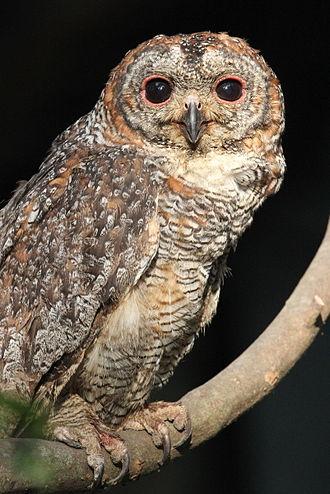 Mottled wood owl - In Kerala.