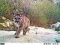 Mountail lion (Puma concolor) yearling (14045562840).jpg